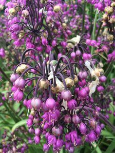 Allium cernuum (lady's leek).  Large pots for June colour