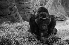 I took a photo of this chill gorilla. - Imgur
