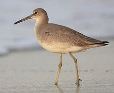 Willet, seen on Padre Island National Seashore