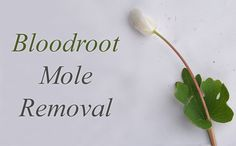 Bloodroot Mole Removal