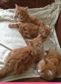 Maine Coon Kittens Ginger Boys. - #catbreeds - See More Tops Scottish Fold Cat Breeds at Catsincare.com! #fluffycatsbreedsscottishfold