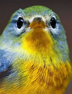 Northern Parula - ©Hilton Pond Center - www.hiltonpond.org/thisweek090922.html