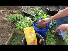 Planting Tomatoes in 5 Gallon Containers & Earth Beds Using Organic Fert...