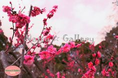 http://nassugallery.saleshop.jp/  春が近付いていますね!梅の写真をUpしていますので、是非見に来てください☆  Spring I approaching ! Since the plum photo has been Up, please come to see us ☆  #nassu #photo #japan #flowers #plants #plum #花 #植物 #写真素材 #BASE
