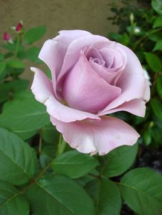 Neptune Rose hybrid tea anecdotally does well in central Ohio