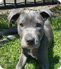 House Springs, MO - American Staffordshire Terrier/Great Dane Mix. Meet Snooki…