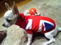 Jerseys para perritos chihuahuas, yorky, pomerania12 € en www.adiosamigo.es/tienda