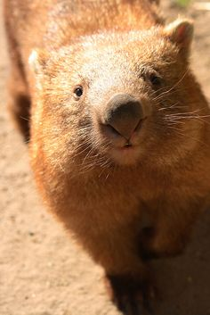 animalfunwithnature:  Wombat 1 by: (Steve)