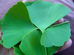 Fresh Ginkgo Leaves Though ginkgo is considered a medicinal herb, the leaves can actually be eaten fresh in salads or blended into green smoothies. They contain wild plant alkaloids that are very nutritious in small doses and can help to round out the diet.