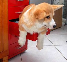 Corgi in a drawer