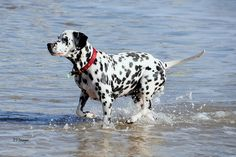 Dalmatian: The National Animal of Croatia