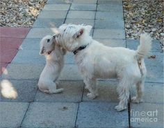 When you find a friend you find a treasure West Highland White Terrier Westie by Art Sandi Westie Puppies, Westies, Cute Puppies, Dogs And Puppies, Doggies, Chihuahua Dogs, Pet Dogs, West Highland White Terrier, Funny Animals