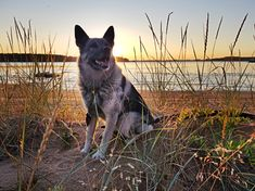 My gråhund Britt on the beach in Luleå Archipelago. Blood Moon, Archipelago, Tours, Sunset, Beach, Animals, Animales, The Beach, Animaux
