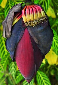 """Régime de bananier haut en couleur...Superbe! """"image by dvs photo"""""""