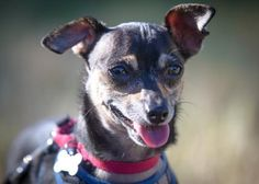 Petango.com – Meet Proton, a 3 years Chihuahua, Short Coat available for adoption Proton is a mellow male Chihuahua who loves his outside time. He enjoys going for walks, he walks well on leash, - in COLORADO SPRINGS, CO