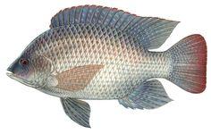 La Tilapia es un pescado especialmente rico en propiedades nutricionales, similar al contenido proteico que encontramos en el pollo. 100 gramos de tilapia aportan 20 gramos de proteínas. #ingredientes #cocina #tilapia