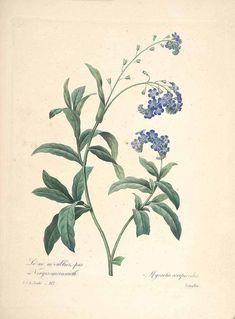 46905 Myosotis scorpioides L. / Redouté, P.J., Choix des plus belles fleurs et des plus beaux fruits, t. 112 (1833) [P.J. Redoute]