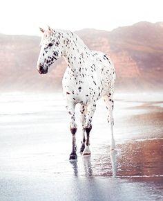 Pretty Animals, Cute Baby Animals, Animals Beautiful, Animals And Pets, Cute Horses, Pretty Horses, Horse Love, Caballos Appaloosa, Appaloosa Horses
