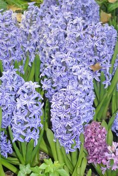 Gorgeous blue hyacinths-love the smell of these in the spring