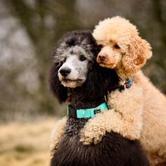 Dog Secrets: The Fastest Way To Your Dream Poodle! - poodle Secrets: The Fastest Way To Your Dream Poodle! French Poodles, Standard Poodles, Dog Rules, Therapy Dogs, Oui Oui, Dog Training Tips, Dog Friends, Puppy Love, Best Dogs