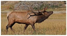 Bull Elk - Rocky Mountain National Park