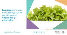 Las hojas externas de la lechuga son las que tienen más vitaminas y minerales. SAGARPA SAGARPAMX #MéxicoAgroPotencia