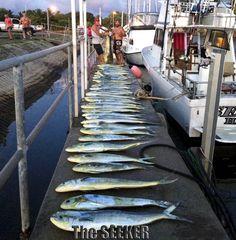 Mahi Mahi caught by The Seeker in Haleiwa. Chupu Sport Fishing Fleet, H2o Adventures Hawaii  ><((()))*>