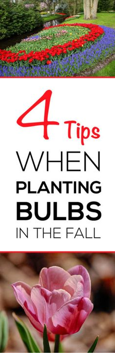Anyone who has bulb plants MUST read these 4 tips to get big beautiful flowers each spring!