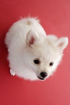 Baby American Eskimo