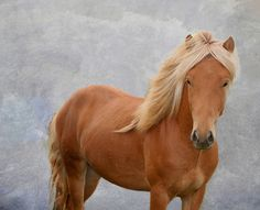 Flaxen chestnut Icelandic... or possibly bay silver icelandic..