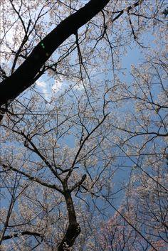 [P]桜の白と空の青、 晴れた空を覆う桜が綺麗でした。