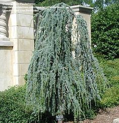 weeping blue atlas cedar does best in loamy soil and full sun but will tolerate other soils except those with poor drainage. It is a moderate to slow-growing evergreen, growing to 10 feet tall and 15 feet wide. It is somewhat difficult to transplant so it is best to plant container-grown trees. Staking and training young trees is necessary to establish the desired form..