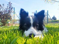 Der Weg zum eigenen Hund und wie es eine  bereichernde Partnerschaft wird – für ALLE! Animation, Border Collie, Corgi, Animals, Dogs And Kids, Dog Owners, Wild Animals, Animales, Animaux