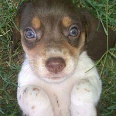 My Mollie. Cutest beagle puppy!