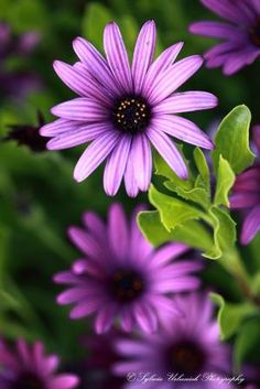 lovely purple flowers - I actually have these in my garden, this shade and also a darker shade. by Hercio Dias