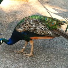 A Peacock at the St Louis Zoo. So pretty! St Louis Zoo, The St, Peacock, Pretty, Photography, Animals, Photograph, Animales, Animaux