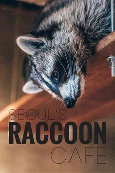 Raccoon Cafe in Seoul  www.travel4life.club