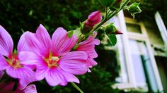 The Syders: How Does Your Garden Grow - Lovely Lavatera