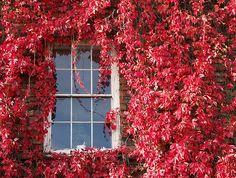 Autumn window - Virginia Creeper | by chrisjohnbeckett