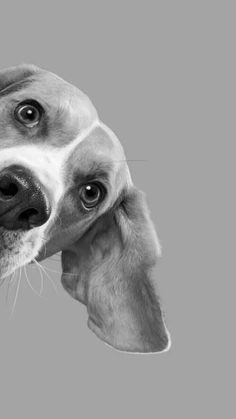 Are you interested in a Beagle? Well, the Beagle is one of the few popular dogs that will adapt much faster to any home. Whether you have a large family, p Black And White Dog, White Dogs, Black Dogs, Animals Black And White, Amazing Animals, Cute Animals, Dog Wallpaper, Beagle Dog, Tier Fotos