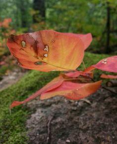 Cserszömörce, sziklás erdőalj mohával, kora őszi erdő - mobillal készült természetfotók - Öreg hegy Almádinál (Balaton-felvidék) #nature #autumn #photography #trees #forest #woods #wood #leaves #levelek #orange #autumn_leaves #ősz #természetfotók #cserszömörce #bush #Balaton #Hungary