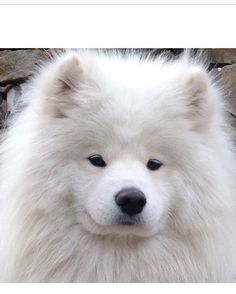 Posing for the camera because you know you're having a good hair day. @ausy_yeti_the_samoyed.