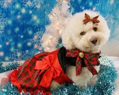 RIP sweet Lacey  Angel 7/3/02 - 4/1/14 (from the group Bichons Rock)