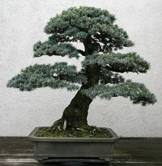 RK:杉:Blue Atlas Cedar (Cedrus atlantica) | Flickr - Photo Sharing!
