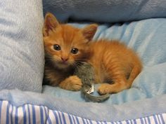 ginger kitten All any cat needs is a loving human who believes in him! Animal Rescue Stories, Animal Rescue Site, Ginger Kitten, Ginger Cats, What Is Life About, What Is Like, Crazy Cat Lady, Crazy Cats, Ginger Boy