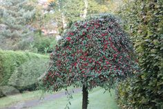 Buy standard cotoneaster Cotoneaster 'Hybridus Pendulus' - Forms a lovely weeping tree: Delivery by Waitrose Garden Evergreen Shrubs, Trees And Shrubs, Flowering Shrubs, Small Garden Trees Uk, Tree Garden, Olive Garden Delivery, Baumgarten, Deer Resistant Plants, Winter