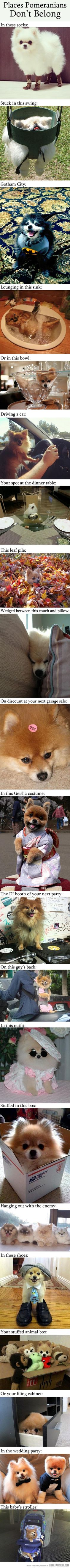 As someone who has been a pomeranian owner my whole life, this is hilarious