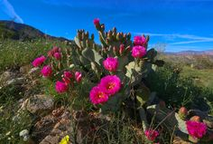 Anza Borrego Desert burst of spring the flowers in California - Photo AOP