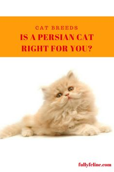 Is a Persian Cat the