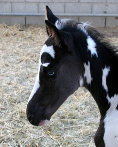 Tennessee Walking Horse, Spotted Saddle Horse, Southern California, Temecula, Gaited Horses, Tennessee Walkers, Stallions at Stud, Pinto Horses, mare foaling, baby horse, foaling mares, shipped semen, horses for sale, Powers Touch Of Power, personal power